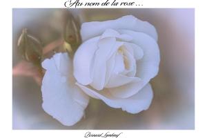Au nom de la rose_1