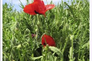 Fleurs des champs_1