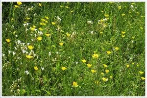 Fleurs des champs_3