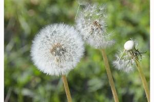 Fleurs des champs_4