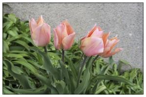 Les fleurs de mon jardin_3