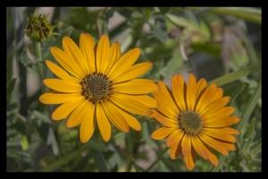 Les fleurs de mon jardin_6