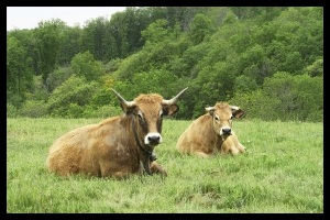 Les vaches de mon voisin_1